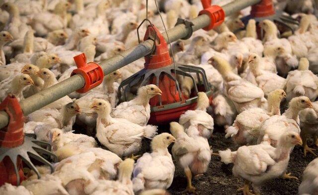 ممنوعیت خرید و فروش مرغ زنده در کشتارگاه های خوزستان