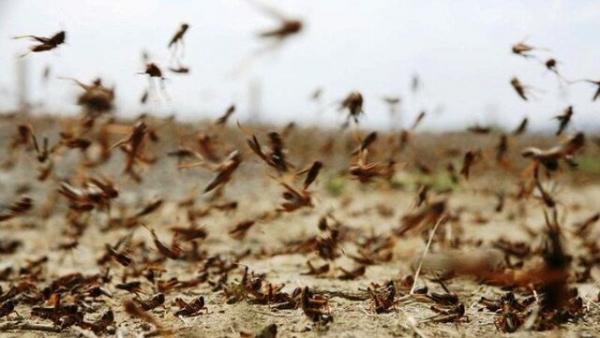 مبارزه با ملخ صحرایی در بیش از 15 هزار هکتار